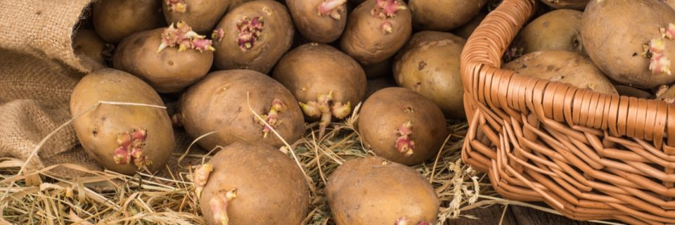 Seed Potatoes Now On Sale