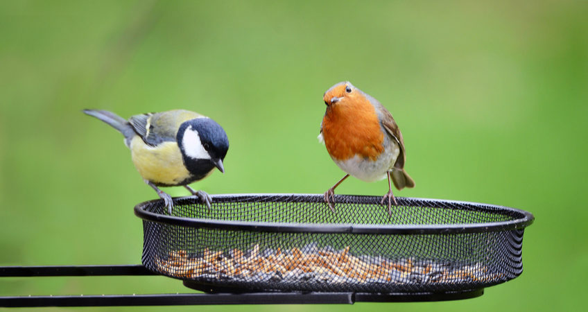 GREAT TIT AND ROBIN ON A BIRD FEEDER