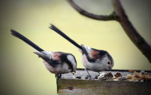 LONG TAILED TITS FEEDING ON A BIRD TABLE