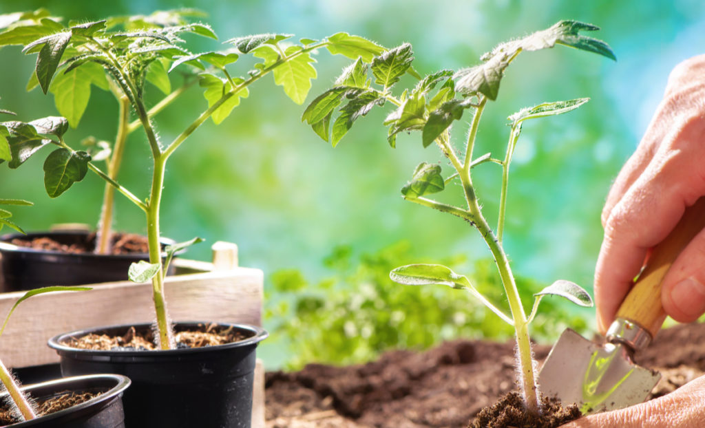 TOMATO PLANTS AND SEEDS AVAILABLE AT EARLSWOOD