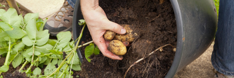 GROW NEW POTATOES FOR CHRISTMAS DINNER! seed potatoes for planting now and harvesting in December  AVAILABLE NOW