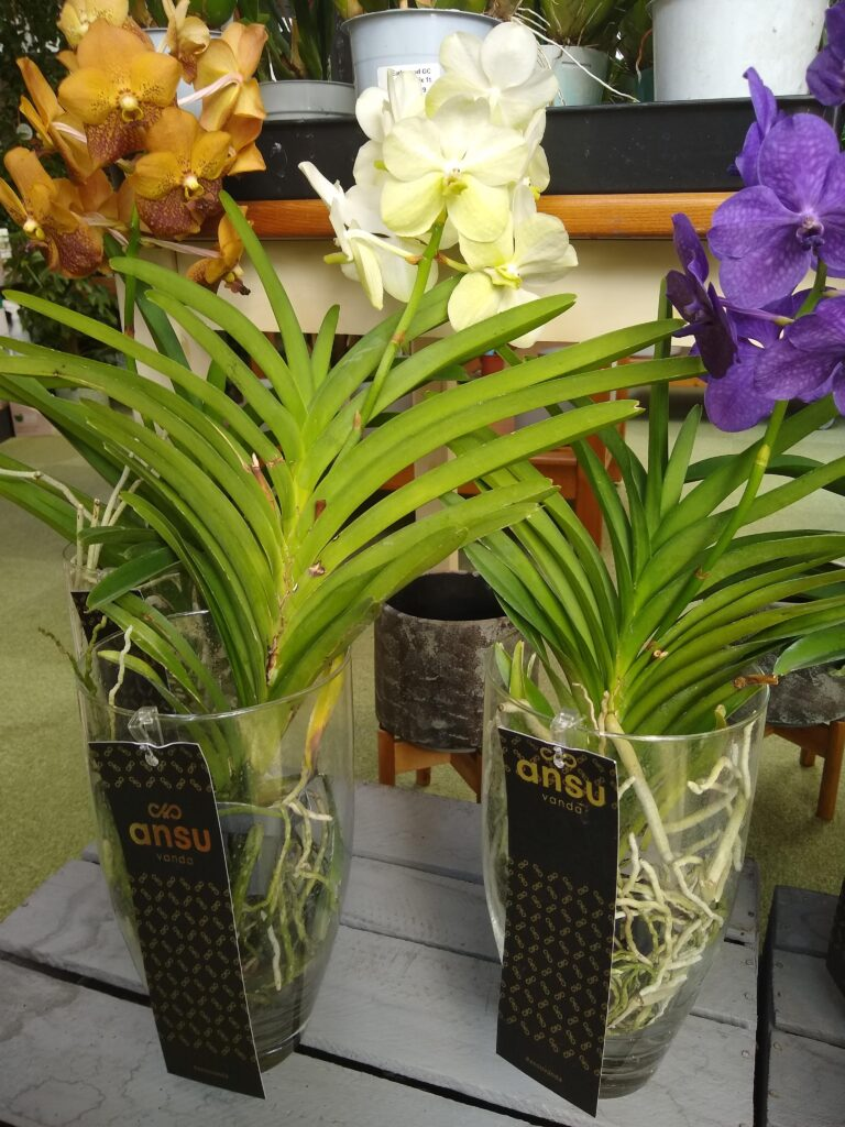 VANDA ORCHIDS IN VASES AT EARLSWOOD GUERNSEY