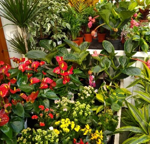 FLOWERING HOUSEPLANTS AT EARLSWOOD GARDEN CENTRE GUERNSEY