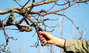 apple-tree-pruning